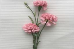 Hoa Cẩm Chướng Màu Hồng Nhạt