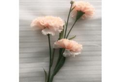 Hoa Cẩm Chướng Màu Hồng Đào